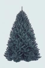 Сосна Величавая 185 см голубая